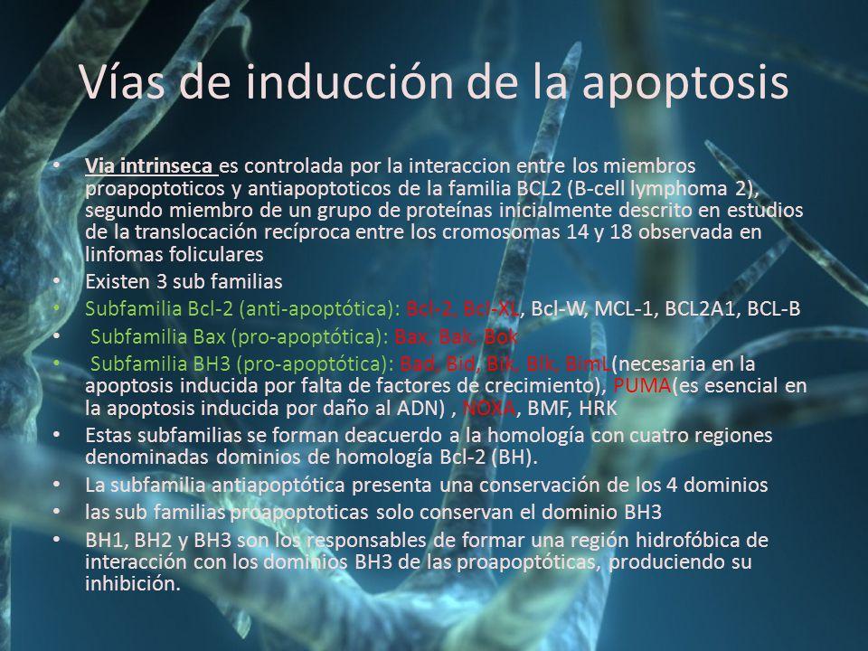 Vías de inducción de la apoptosis Via intrinseca es controlada por la interaccion entre los miembros proapoptoticos y antiapoptoticos de la familia BC