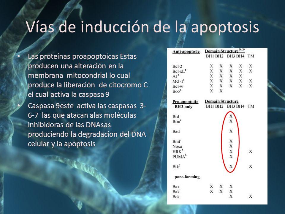 Vías de inducción de la apoptosis Las proteínas proapoptoicas Estas producen una alteración en la membrana mitocondrial lo cual produce la liberación