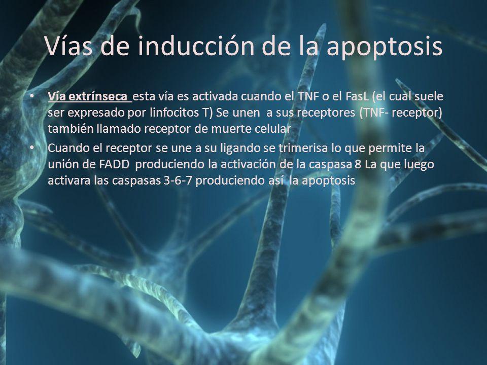 Vías de inducción de la apoptosis Vía extrínseca esta vía es activada cuando el TNF o el FasL (el cual suele ser expresado por linfocitos T) Se unen a