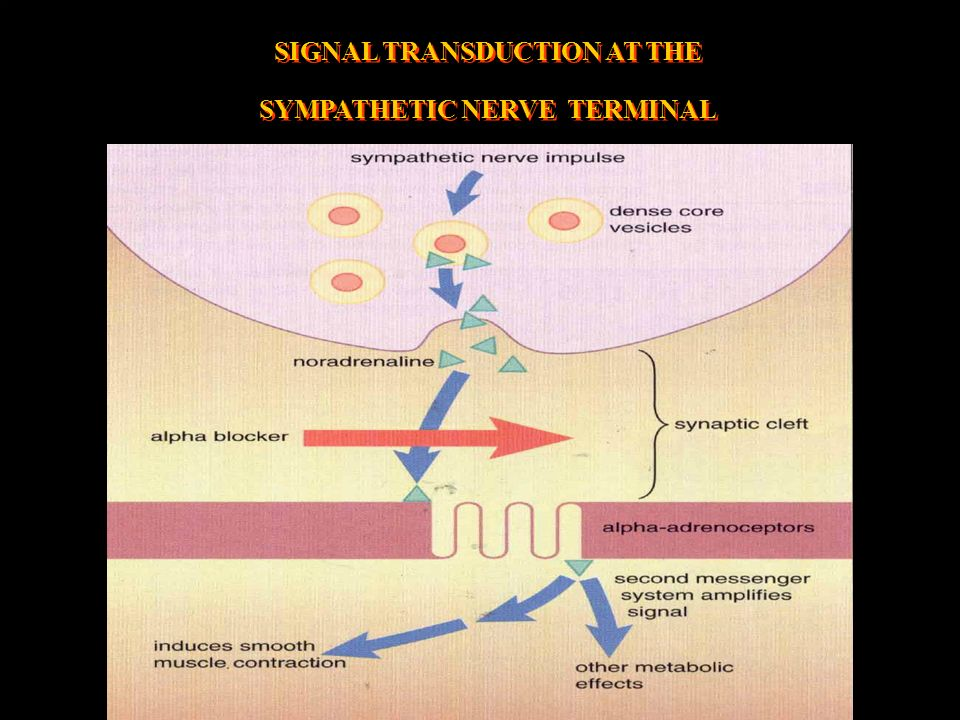 SIGNAL TRANSDUCTION AT THE SYMPATHETIC NERVE TERMINAL SIGNAL TRANSDUCTION AT THE SYMPATHETIC NERVE TERMINAL