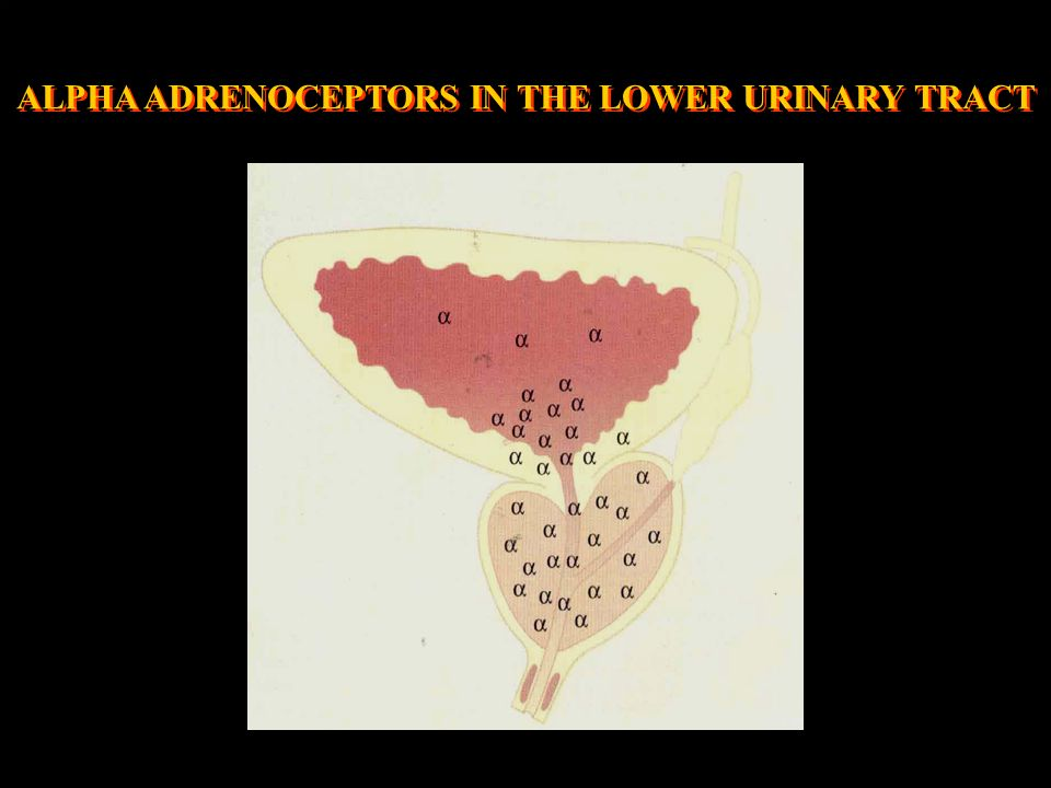 ALPHA ADRENOCEPTORS IN THE LOWER URINARY TRACT