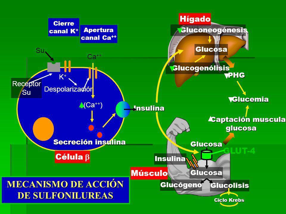 Hígado Músculo Glucemia Glucemia Captación muscular Captación muscularglucosa PHG Insulina Glucosa GLUT-4 Glucógeno Glucolisis Ciclo Krebs Glucosa Gluconeogénesis Glucogenólisis Glucosa Su Receptor Su Cierre canal K + K+K+ Despolarización Célula Apertura canal Ca ++ Ca ++ Secreción insulina Insulina (Ca ++ ) MECANISMO DE ACCIÓN DE SULFONILUREAS