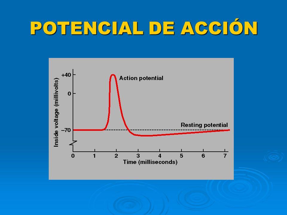 POTENCIAL DE ACCÍON CONCEPTO CONCEPTO MECANÍSMO DE PRODUCCIÓN MECANÍSMO DE PRODUCCIÓN PROPAGACIÓN PROPAGACIÓN
