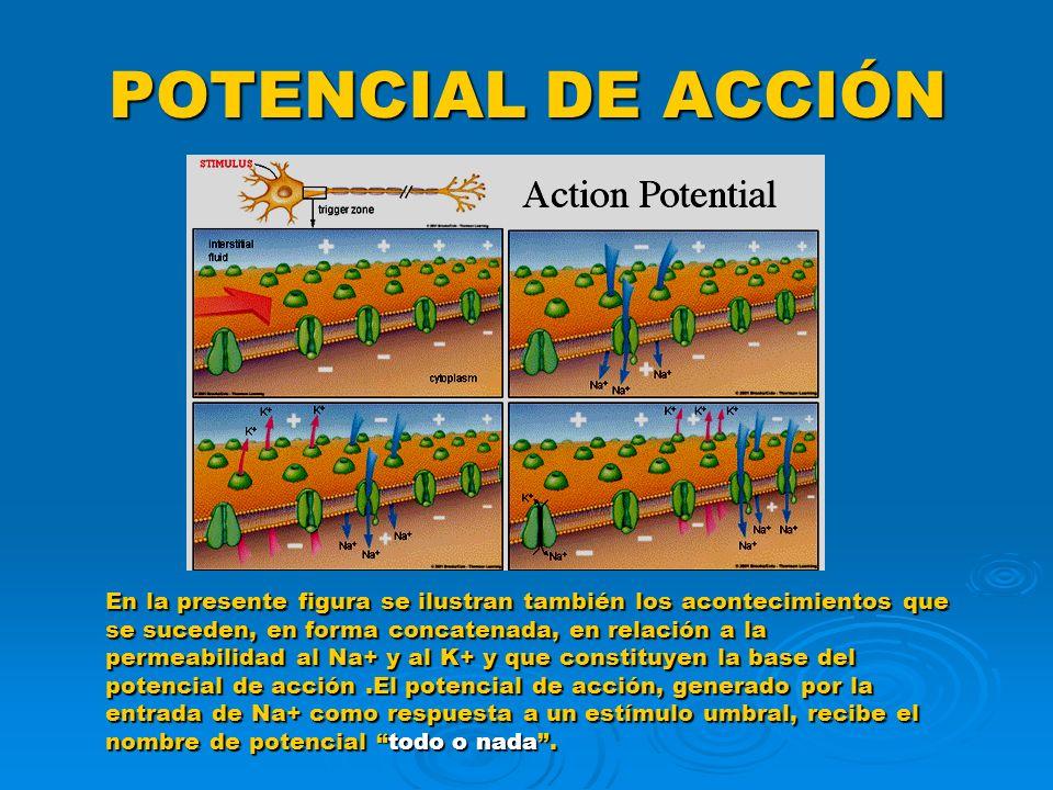 POTENCIAL DE ACCIÓN En la presente figura se ilustran también los acontecimientos que se suceden, en forma concatenada, en relación a la permeabilidad