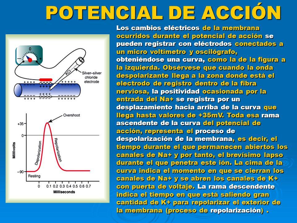 POTENCIAL DE ACCIÓN Los cambios eléctricos de la membrana ocurridos durante el potencial de acción se pueden registrar con eléctrodos conectados a un