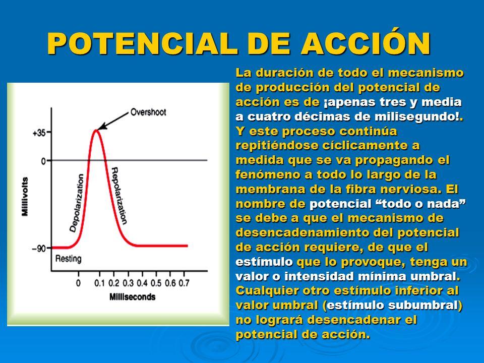 POTENCIAL DE ACCIÓN La duración de todo el mecanismo de producción del potencial de acción es de ¡apenas tres y media a cuatro décimas de milisegundo!