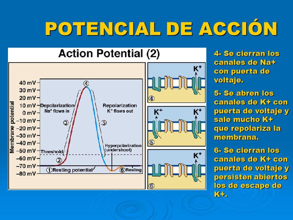 POTENCIAL DE ACCIÓN 4- Se cierran los canales de Na+ con puerta de voltaje. 5- Se abren los canales de K+ con puerta de voltaje y sale mucho K+ que re