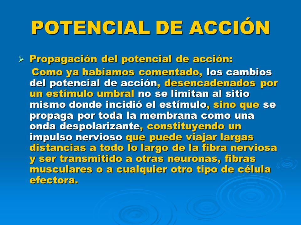 POTENCIAL DE ACCIÓN Propagación del potencial de acción: Propagación del potencial de acción: Como ya habíamos comentado, los cambios del potencial de