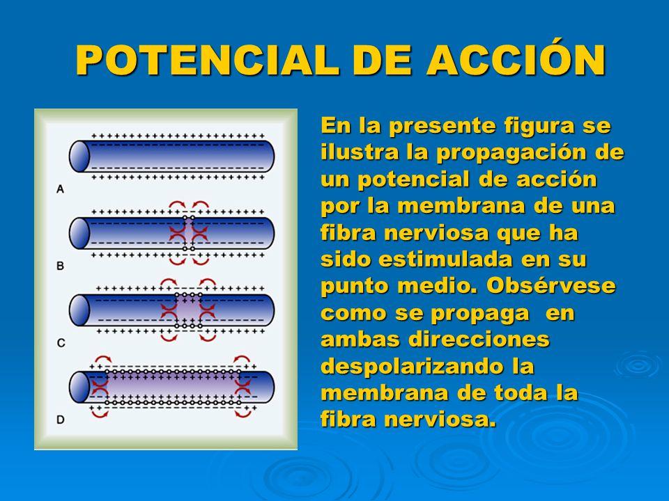 POTENCIAL DE ACCIÓN En la presente figura se ilustra la propagación de un potencial de acción por la membrana de una fibra nerviosa que ha sido estimu