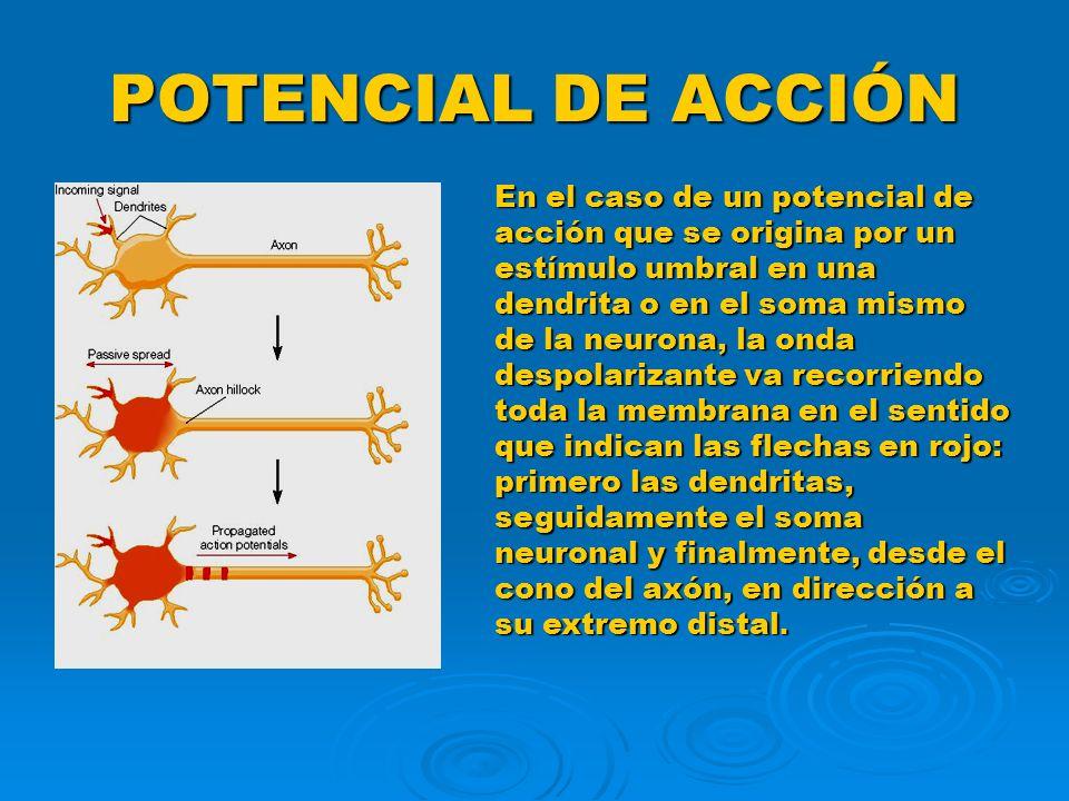 POTENCIAL DE ACCIÓN En el caso de un potencial de acción que se origina por un estímulo umbral en una dendrita o en el soma mismo de la neurona, la on