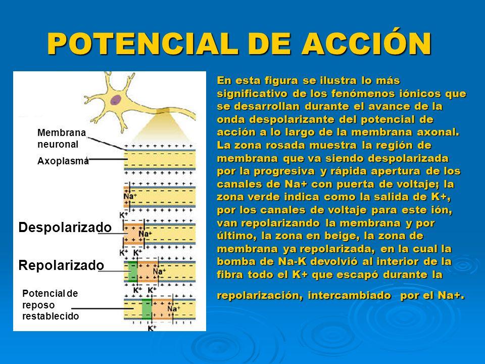 POTENCIAL DE ACCIÓN En esta figura se ilustra lo más significativo de los fenómenos iónicos que se desarrollan durante el avance de la onda despolariz
