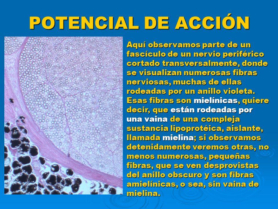 POTENCIAL DE ACCIÓN Aquí observamos parte de un fascículo de un nervio periférico cortado transversalmente, donde se visualizan numerosas fibras nervi