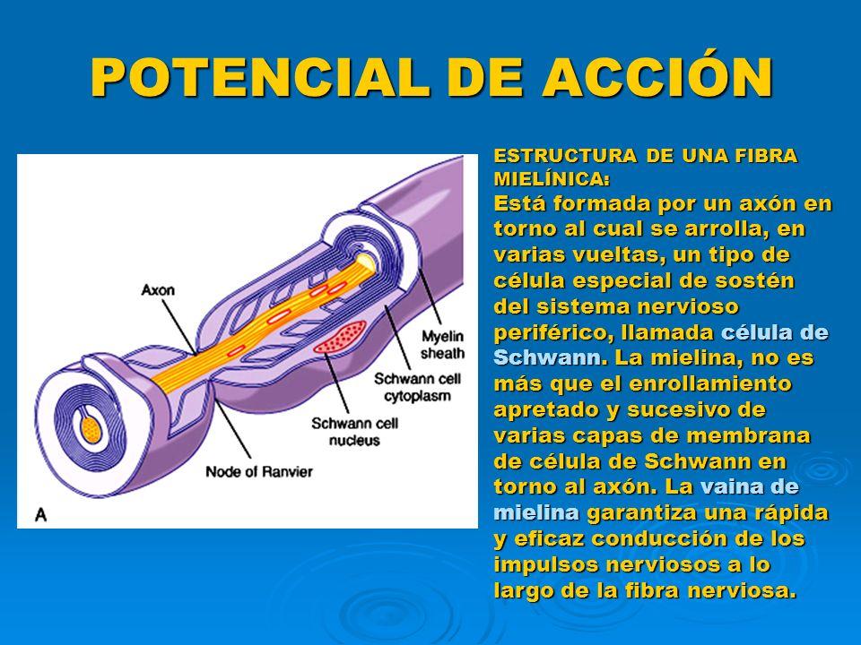 POTENCIAL DE ACCIÓN ESTRUCTURA DE UNA FIBRA MIELÍNICA: Está formada por un axón en torno al cual se arrolla, en varias vueltas, un tipo de célula espe
