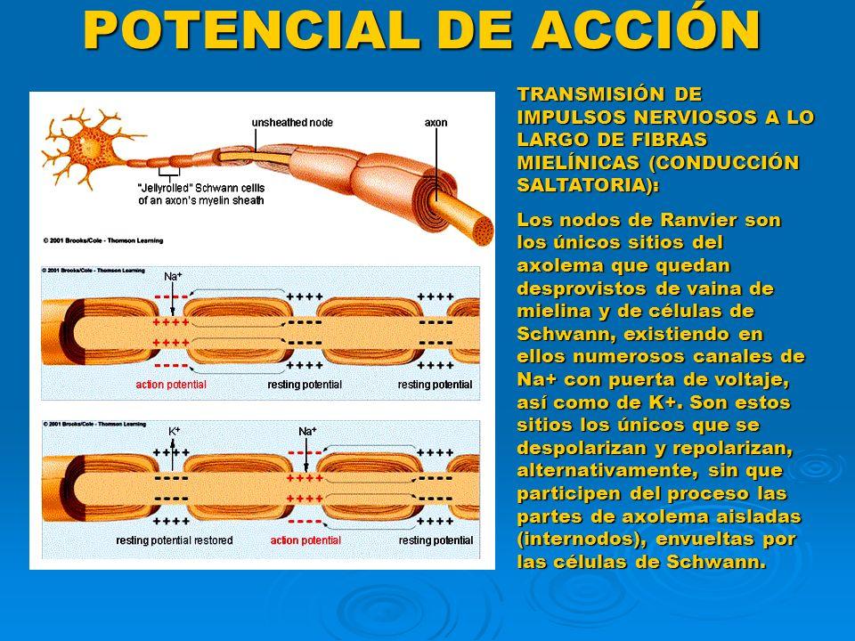 POTENCIAL DE ACCIÓN TRANSMISIÓN DE IMPULSOS NERVIOSOS A LO LARGO DE FIBRAS MIELÍNICAS (CONDUCCIÓN SALTATORIA): Los nodos de Ranvier son los únicos sit