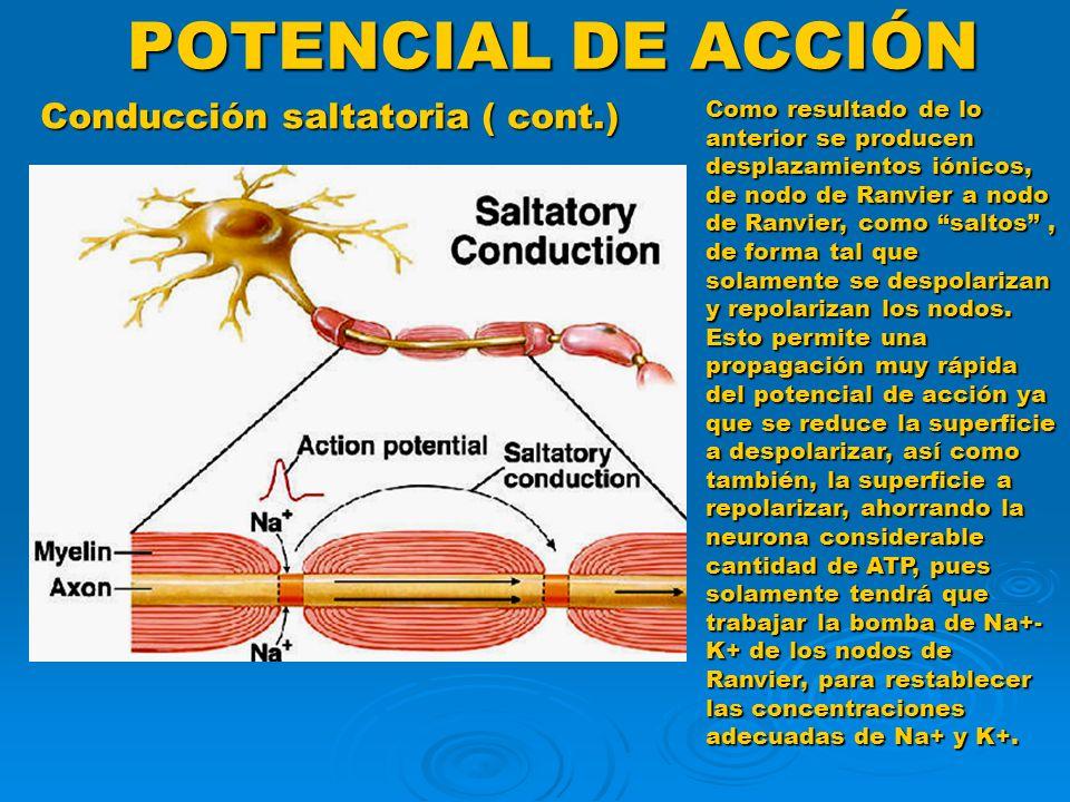 POTENCIAL DE ACCIÓN Conducción saltatoria ( cont.) Como resultado de lo anterior se producen desplazamientos iónicos, de nodo de Ranvier a nodo de Ran