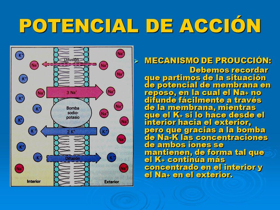 POTENCIAL DE ACCIÓN De igual manera debemos recordar que como resultado de lo anterior la superficie externa de la membrana queda cargada positivamente y la superficie interna queda con predominio de cargas eléctricas negativas, estableciéndose una diferencia de potencial eléctrico entre el exterior y el interior ( medible con microvoltímetro ) a la que llamamos POTENCIAL DE MEMBRANA EN REPOSO.