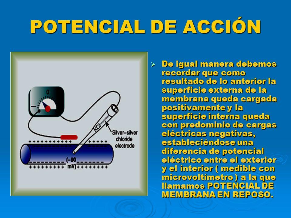 POTENCIAL DE ACCIÓN De igual manera debemos recordar que como resultado de lo anterior la superficie externa de la membrana queda cargada positivament