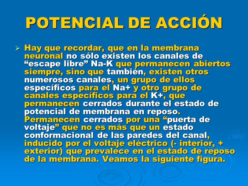 POTENCIAL DE ACCIÓN 4- Se cierran los canales de Na+ con puerta de voltaje.