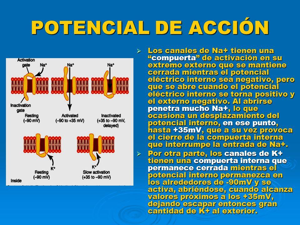 POTENCIAL DE ACCIÓN Los canales de Na+ tienen unacompuerta de activación en su extremo externo que se mantiene cerrada mientras el potencial eléctrico