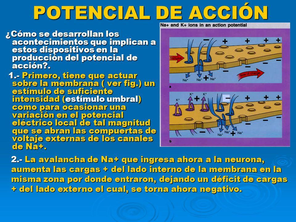 POTENCIAL DE ACCIÓN En la presente figura se ilustra la propagación de un potencial de acción por la membrana de una fibra nerviosa que ha sido estimulada en su punto medio.