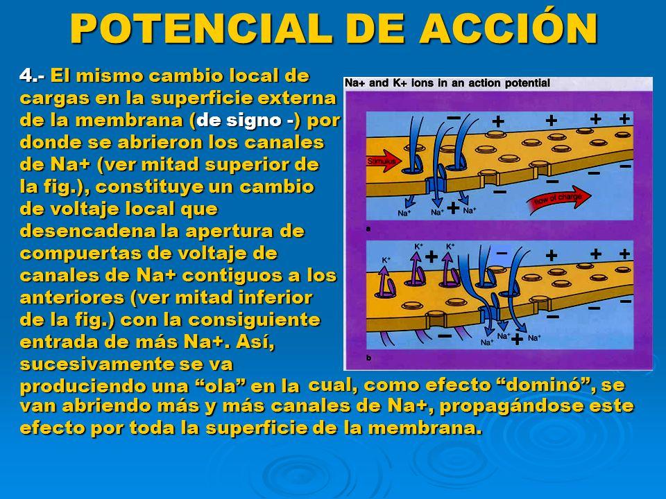 POTENCIAL DE ACCIÓN Conducción saltatoria ( cont.) Como resultado de lo anterior se producen desplazamientos iónicos, de nodo de Ranvier a nodo de Ranvier, como saltos, de forma tal que solamente se despolarizan y repolarizan los nodos.