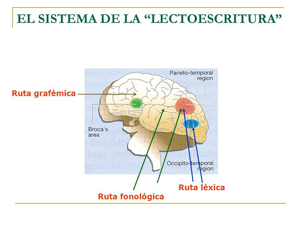 Ruta fonológica Ruta léxica EL SISTEMA DE LA LECTOESCRITURA Ruta grafémica