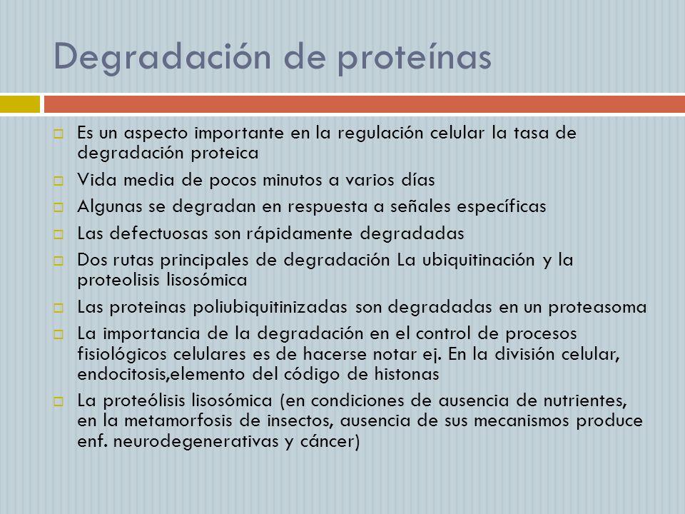 Degradación de proteínas Es un aspecto importante en la regulación celular la tasa de degradación proteica Vida media de pocos minutos a varios días A