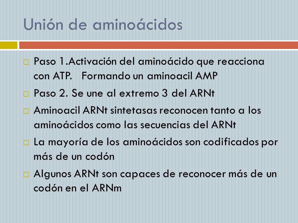 Unión de aminoácidos Paso 1.Activación del aminoácido que reacciona con ATP. Formando un aminoacil AMP Paso 2. Se une al extremo 3 del ARNt Aminoacil