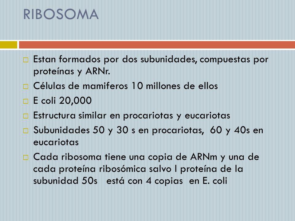RIBOSOMA Estan formados por dos subunidades, compuestas por proteínas y ARNr. Células de mamiferos 10 millones de ellos E coli 20,000 Estructura simil