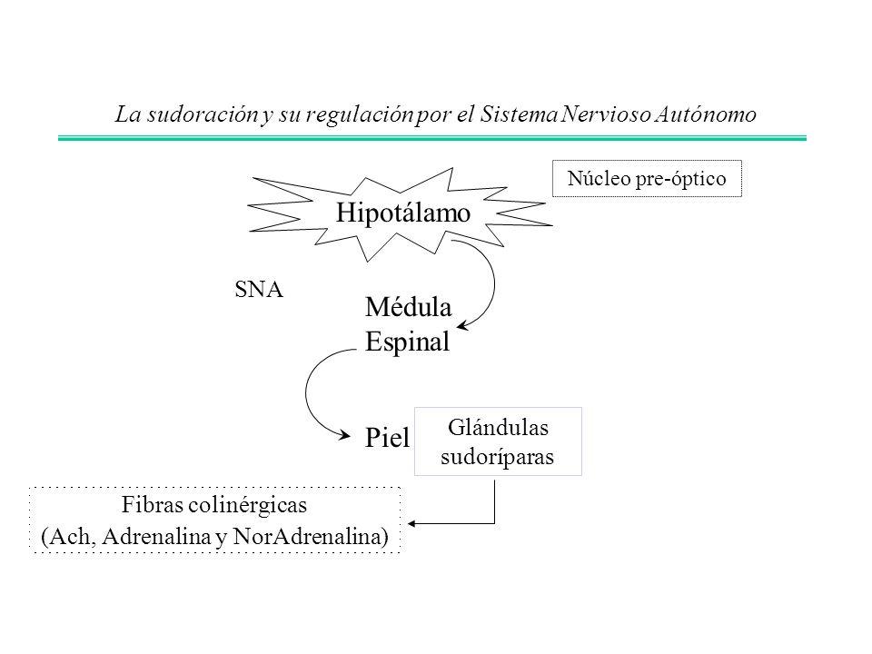 La sudoración y su regulación por el Sistema Nervioso Autónomo Fibras colinérgicas (Ach, Adrenalina y NorAdrenalina) Hipotálamo Glándulas sudoríparas