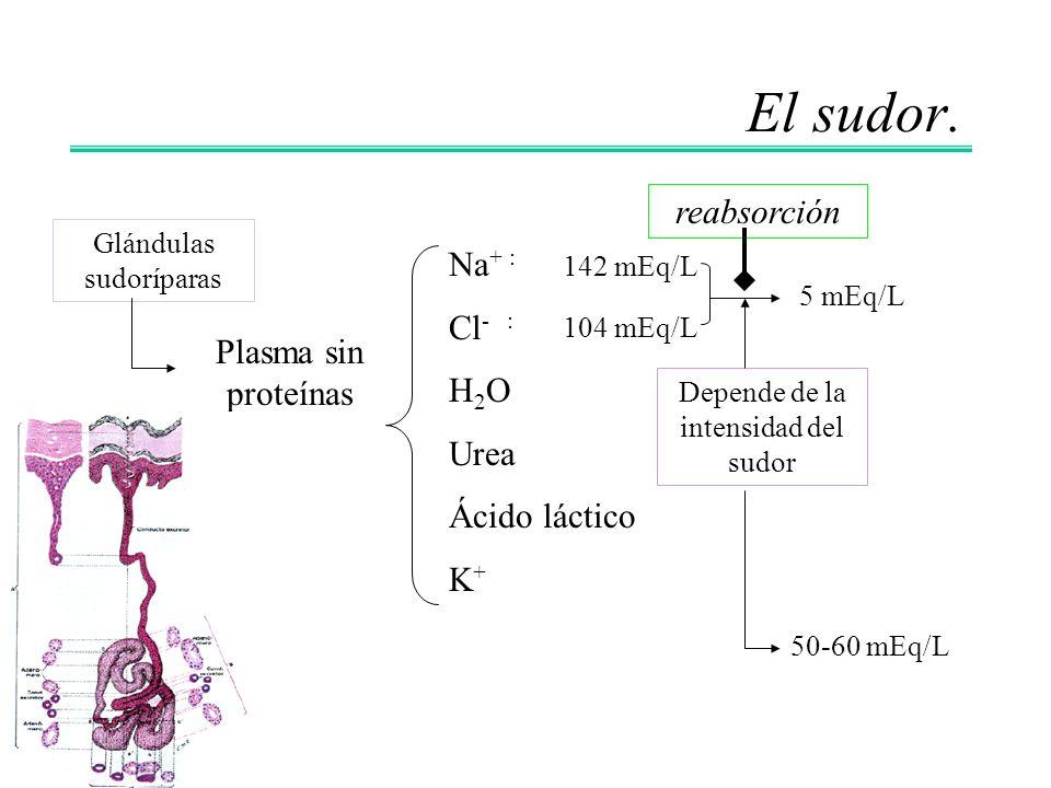 El sudor. Glándulas sudoríparas Plasma sin proteínas Na + : Cl - : H 2 O Urea Ácido láctico K + 142 mEq/L 104 mEq/L 5 mEq/L Depende de la intensidad d