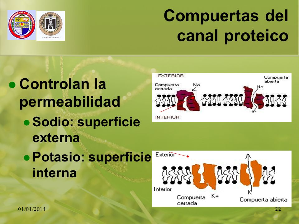 01/01/201422 Compuertas del canal proteico Controlan la permeabilidad Sodio: superficie externa Potasio: superficie interna