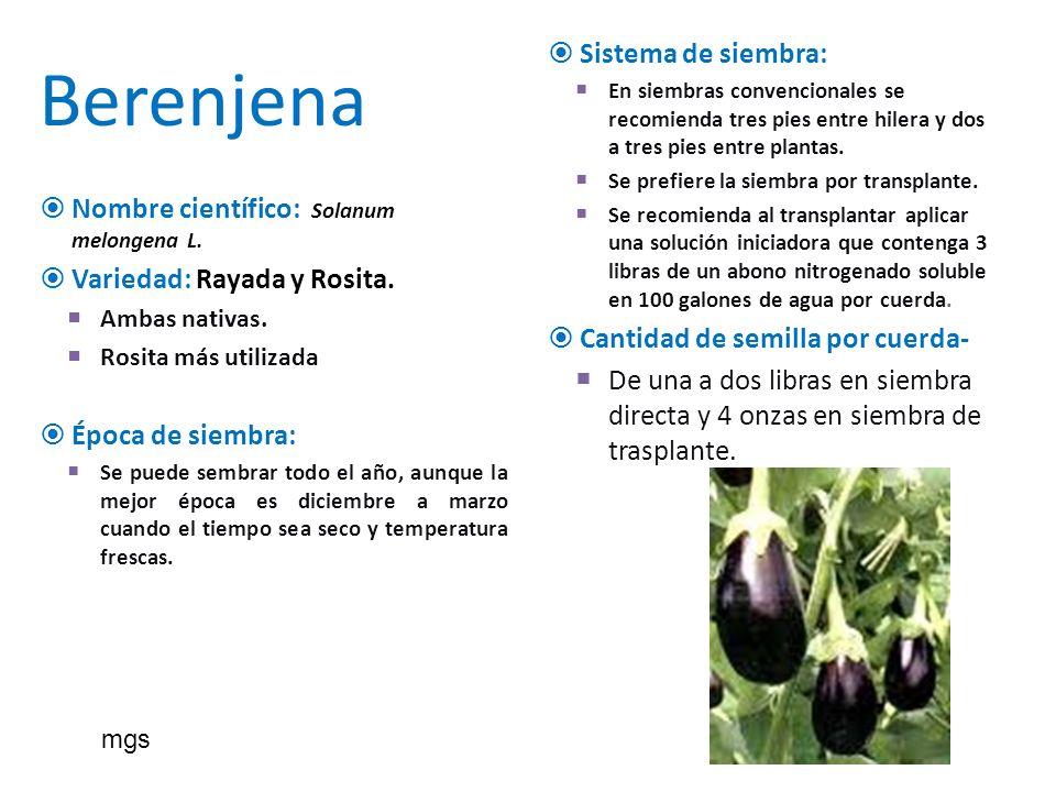 Berenjena Nombre científico: Solanum melongena L. Variedad: Rayada y Rosita. Ambas nativas. Rosita más utilizada Época de siembra: Se puede sembrar to