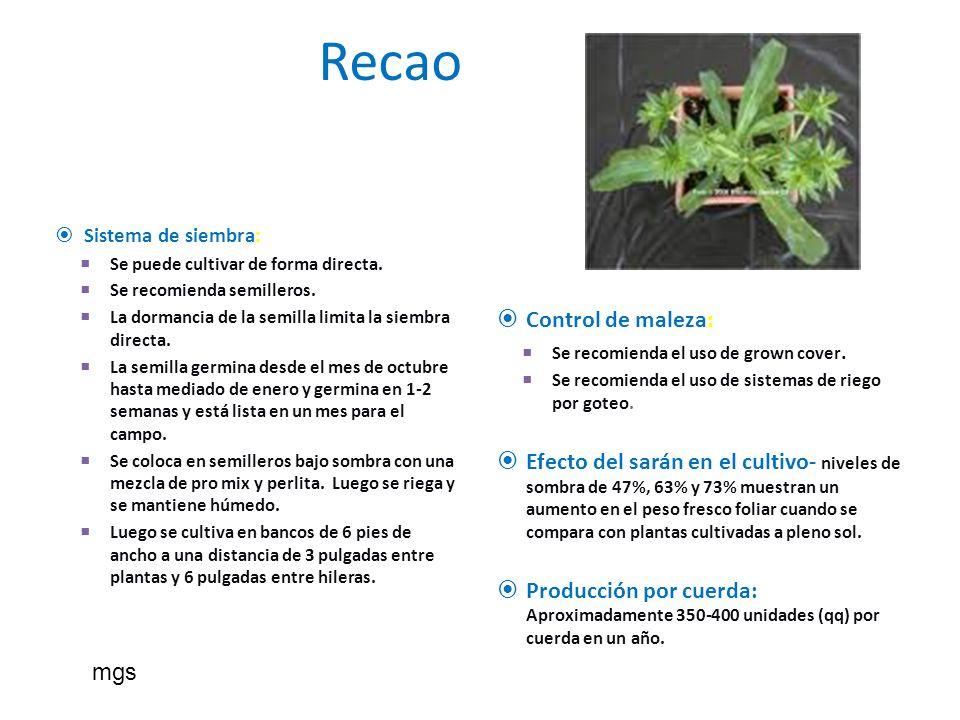 Recao Sistema de siembra: Se puede cultivar de forma directa. Se recomienda semilleros. La dormancia de la semilla limita la siembra directa. La semil