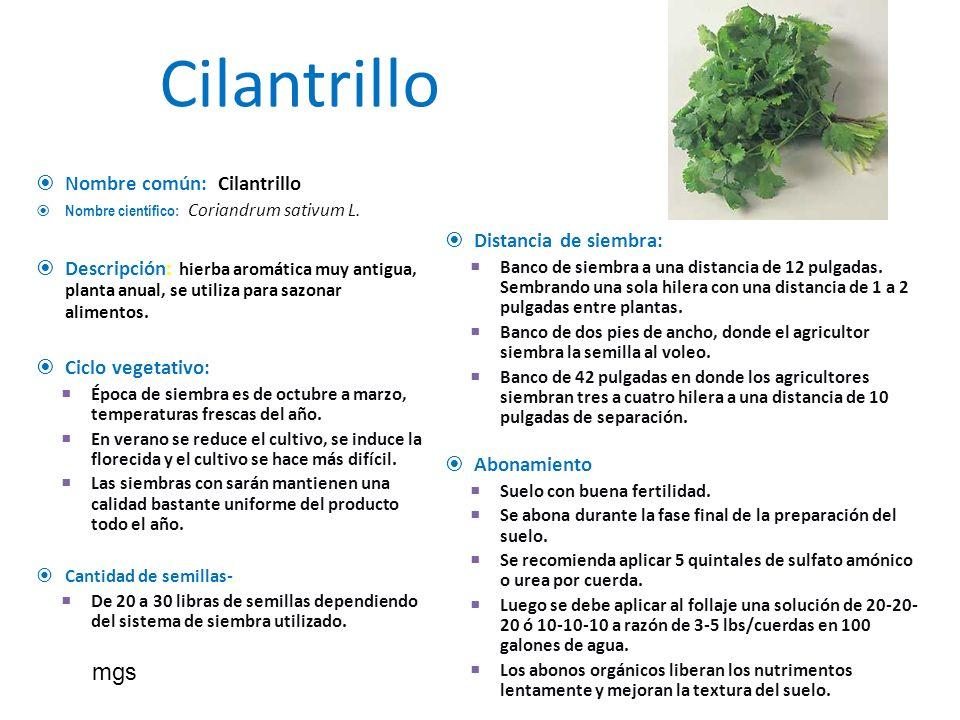 Cilantrillo Nombre común: Cilantrillo Nombre científico: Coriandrum sativum L. Descripción: hierba aromática muy antigua, planta anual, se utiliza par