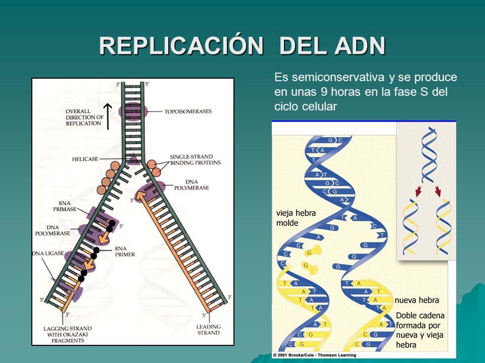 REPLICACIÓN DEL ADN Es semiconservativa y se produce en unas 9 horas en la fase S del ciclo celular