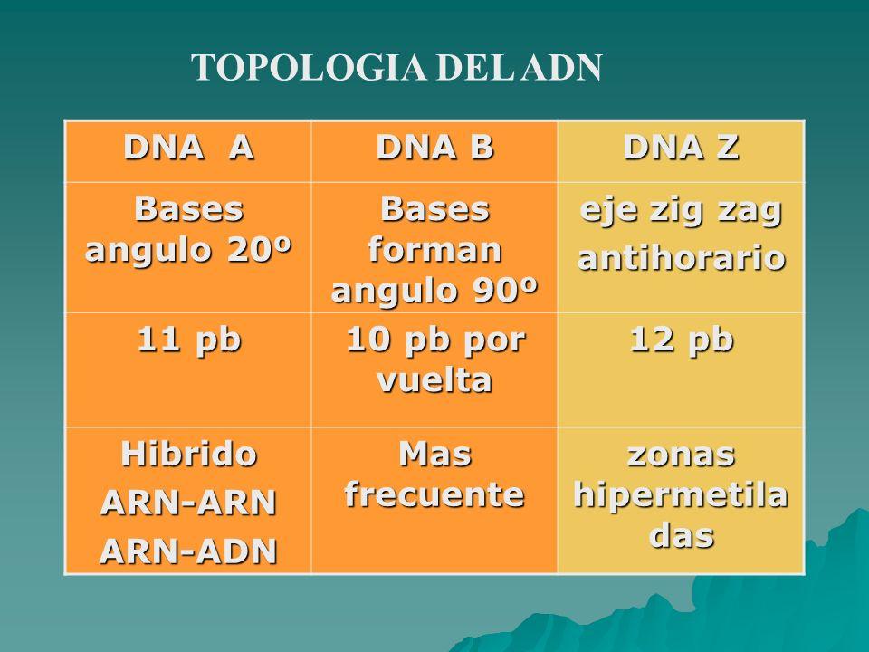 TOPOLOGIA DEL ADN DNA A DNA B DNA Z Bases angulo 20º Bases forman angulo 90º eje zig zag antihorario 11 pb 10 pb por vuelta 12 pb HibridoARN-ARNARN-AD