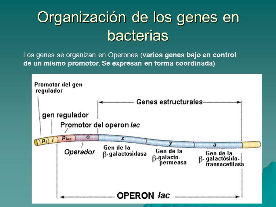 Organización de los genes en bacterias Los genes se organizan en Operones (varios genes bajo en control de un mismo promotor. Se expresan en forma coo