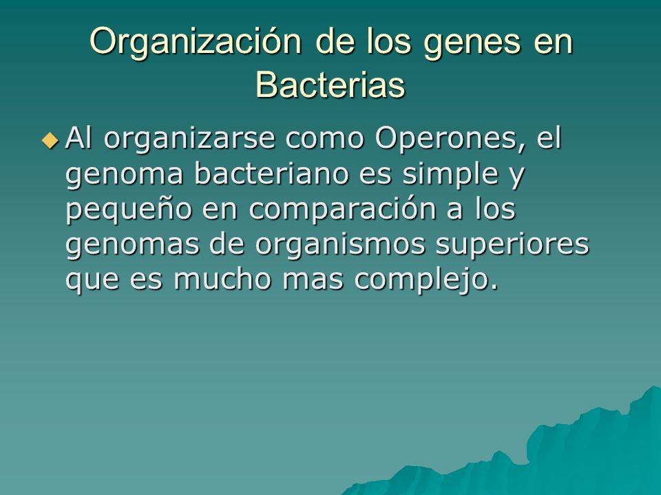 Al organizarse como Operones, el genoma bacteriano es simple y pequeño en comparación a los genomas de organismos superiores que es mucho mas complejo