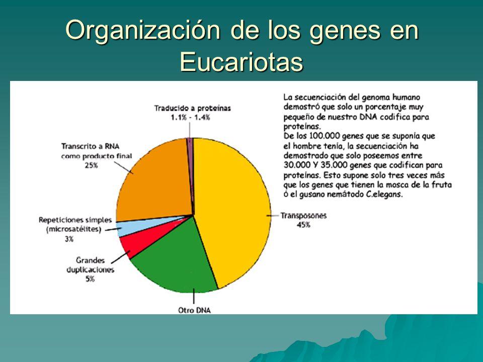 Organización de los genes en Eucariotas