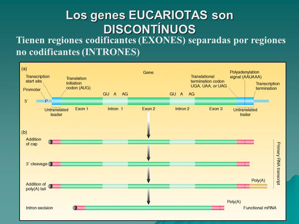 Los genes EUCARIOTAS son DISCONTÍNUOS Tienen regiones codificantes (EXONES) separadas por regiones no codificantes (INTRONES)