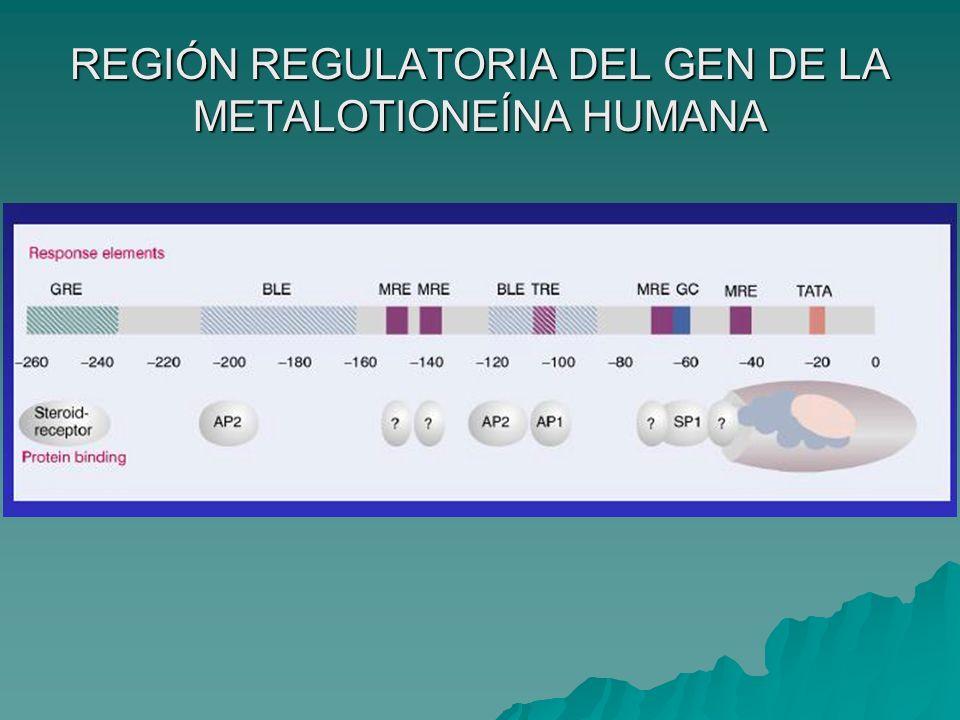 REGIÓN REGULATORIA DEL GEN DE LA METALOTIONEÍNA HUMANA