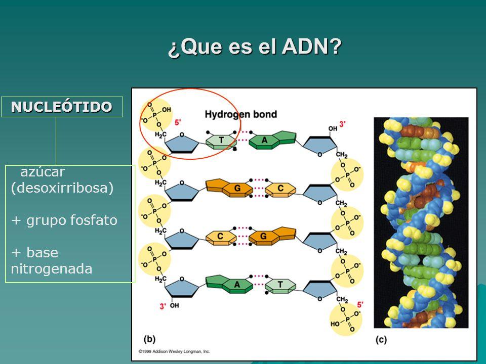 NUCLEÓTIDO azúcar (desoxirribosa) + grupo fosfato + base nitrogenada ¿Que es el ADN?