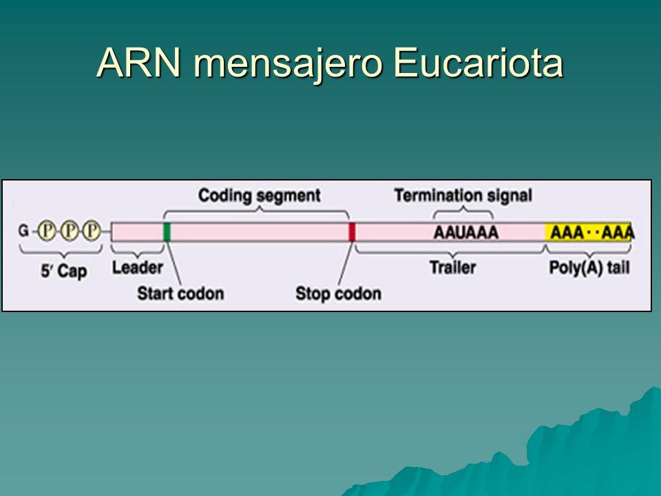 ARN mensajero Eucariota