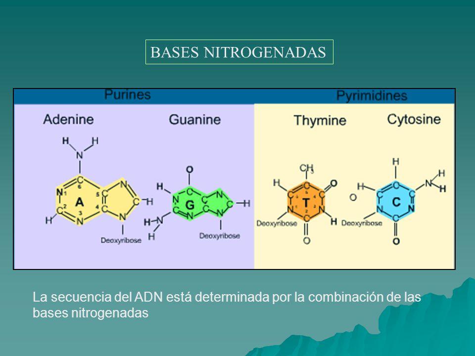 La secuencia del ADN está determinada por la combinación de las bases nitrogenadas BASES NITROGENADAS