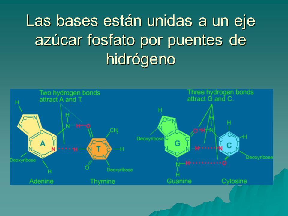 Las bases están unidas a un eje azúcar fosfato por puentes de hidrógeno