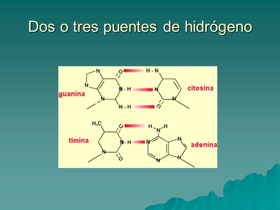Las cadenas del ADN son antiparalelas y complementarias