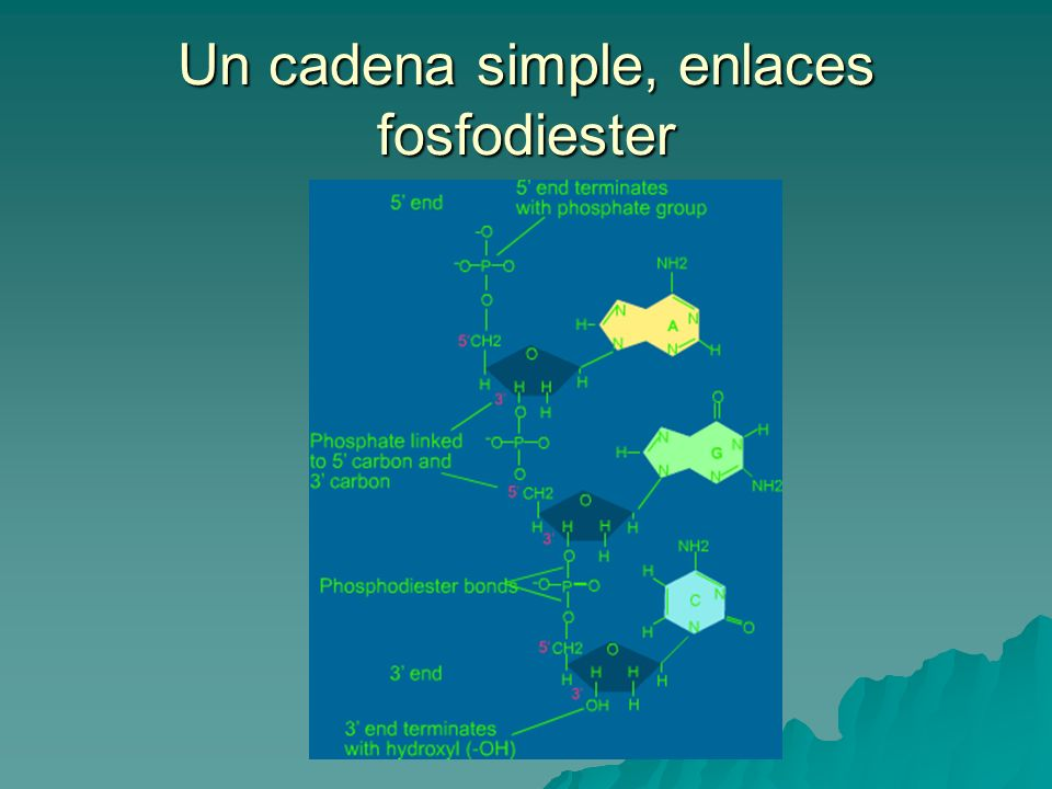 Un cadena simple, enlaces fosfodiester