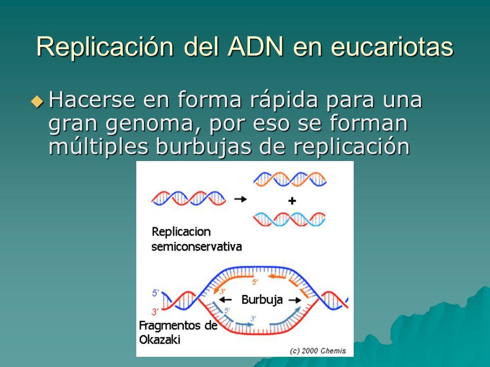 Replicación: complejo de enzimas necesarias ADN polimerasa ADN polimerasa Proteínas de unión a la cadena simple Proteínas de unión a la cadena simple Helicasa Helicasa ARN polimerasa (síntesis de primers) ARN polimerasa (síntesis de primers) Topoisomerasas Topoisomerasas Exonucleasas Exonucleasas Ligasa Ligasa