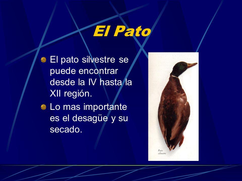 El Pato El pato silvestre se puede encontrar desde la IV hasta la XII región. Lo mas importante es el desagüe y su secado.